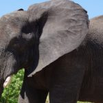 ouderdom grote oren olifant